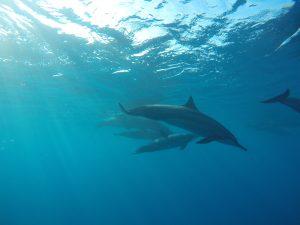 simma med delfiner på Hawaii