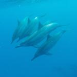 Simmar med Delfiner Hawaii 2015